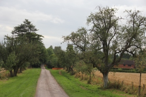 Avenue of Perry trees at the Hellens, Much Marcle