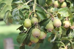holmer pear